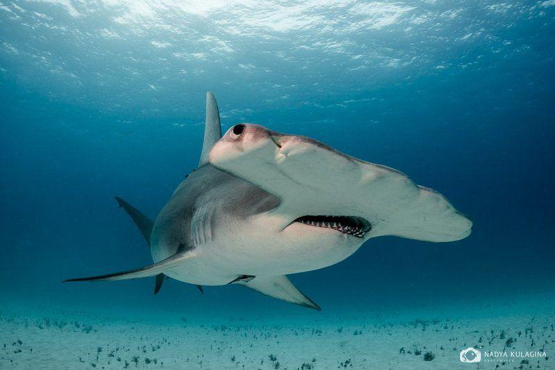 underwater, hammerhead, great hammerhead, shark, close-up Молоточкиphoto preview