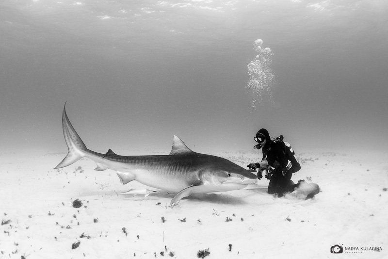 underwater, diving, tiger shark, shark, pelagic, predator, ties, relation, relationship, black and white Affectionphoto preview