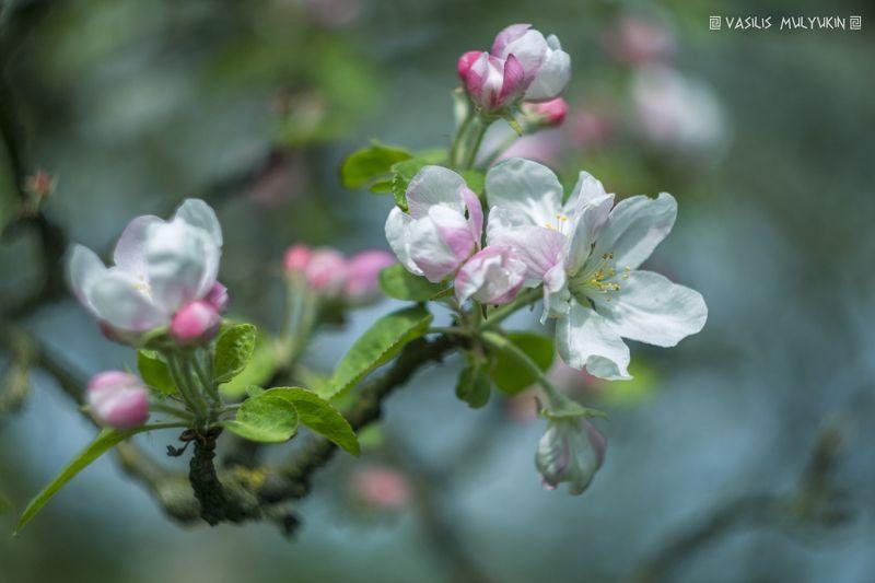 Яблони в цвету ...photo preview