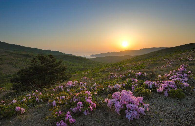 Цветение рододендрона Шлиппенбаха.photo preview