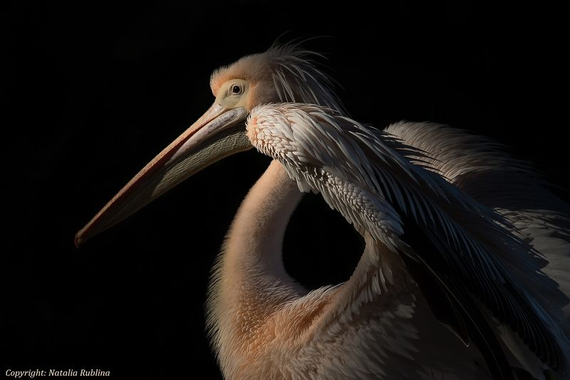 Животные, Крылья, Настроение, Пеликаны, Природа, Птицы, Свет Frame of Mind...photo preview