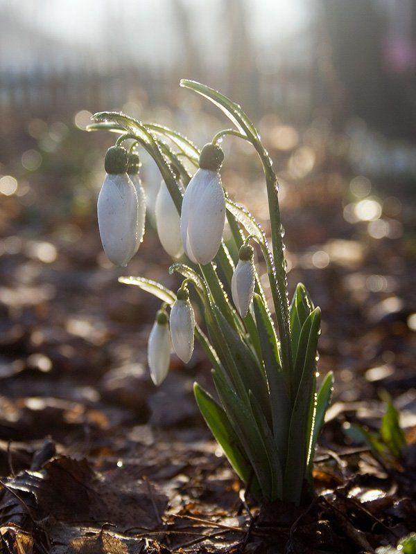весна, утро, подснежник Веснаphoto preview