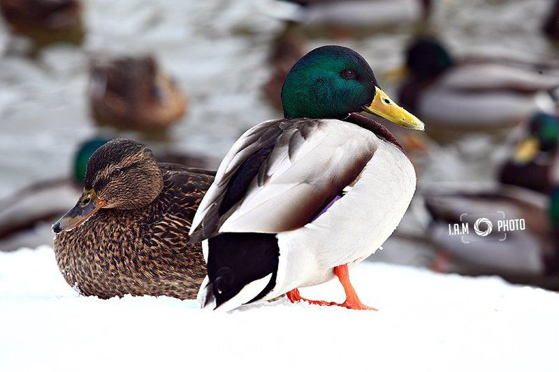 Duck talesphoto preview