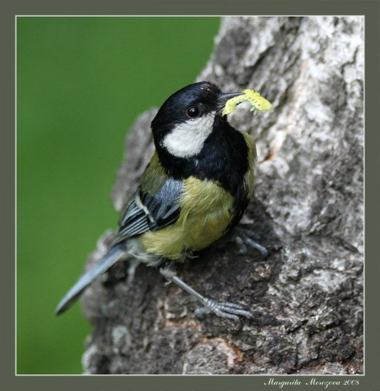птицы,синица Утроphoto preview