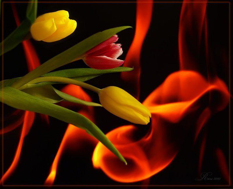 тюльпаны, огонь С огоньком!photo preview