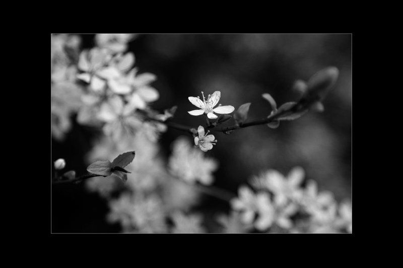 цветы, весна, монохром веснаphoto preview