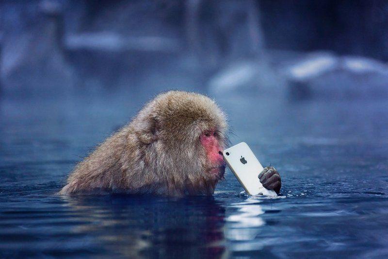япония, обезьяна, iphone, apple И кому бы позвонить?photo preview