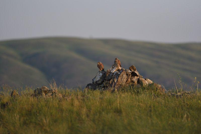 пустельга, Южный Урал Степная свадьбаphoto preview