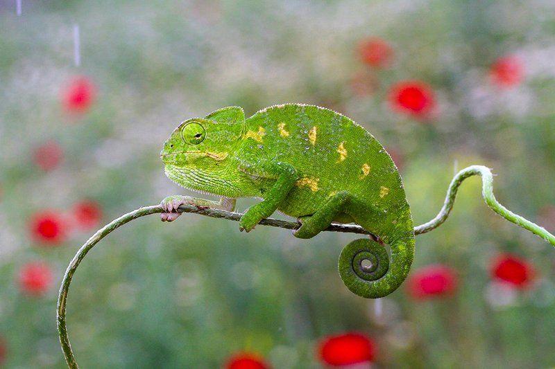 nature chameleon spring common chameleonphoto preview