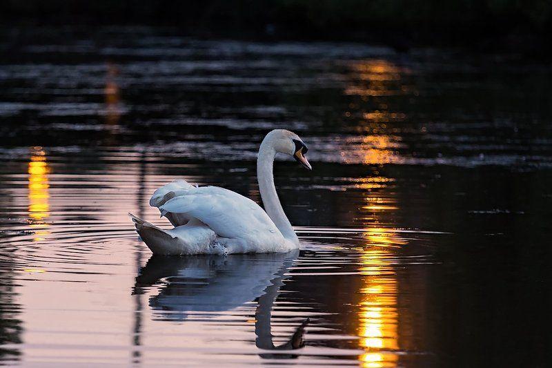 Закат, Лебедь photo preview