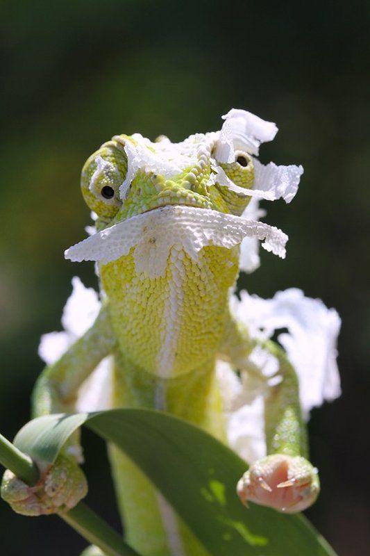 nature chameleon animal **photo preview