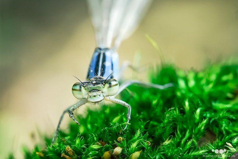 стрелка, макро, стрекоза, равнокрылая, спасенная, насекомые, кирилл кривошеев, macro insomnia Стрелкаphoto preview