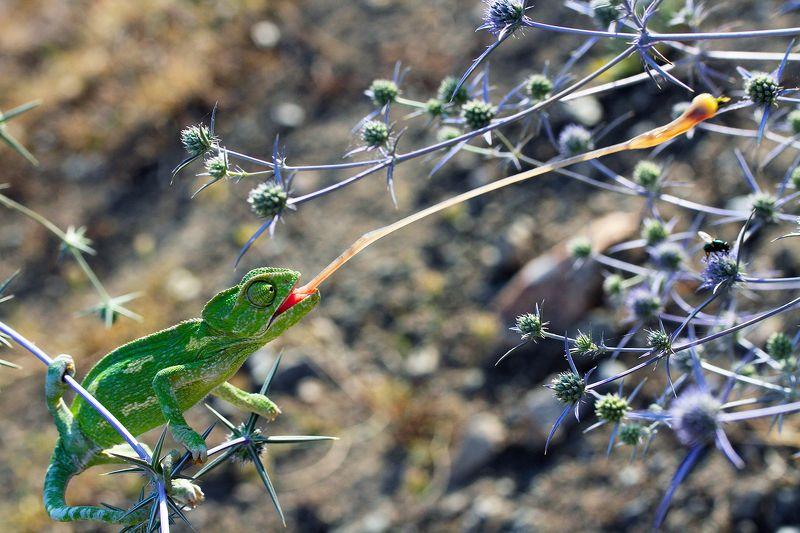 chameleon nature animals hunterphoto preview