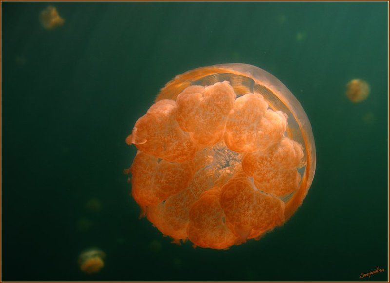 микронезия, палау, озеро медуз Инопланетяне с Палауphoto preview