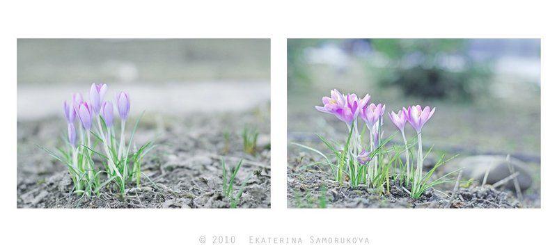 крокусы, цветы, весна крокусыphoto preview