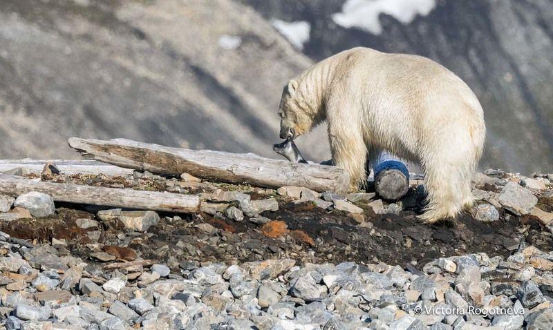 Арктика, Белый Медведь, Шпицберген Медведь поймал нерпуphoto preview