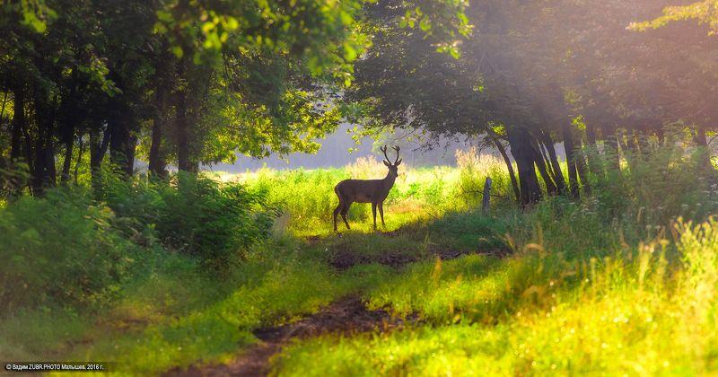 Zubr.photo, Европейский, Животные, Закат, Лес, Лето, Олень, Природа Встречаphoto preview