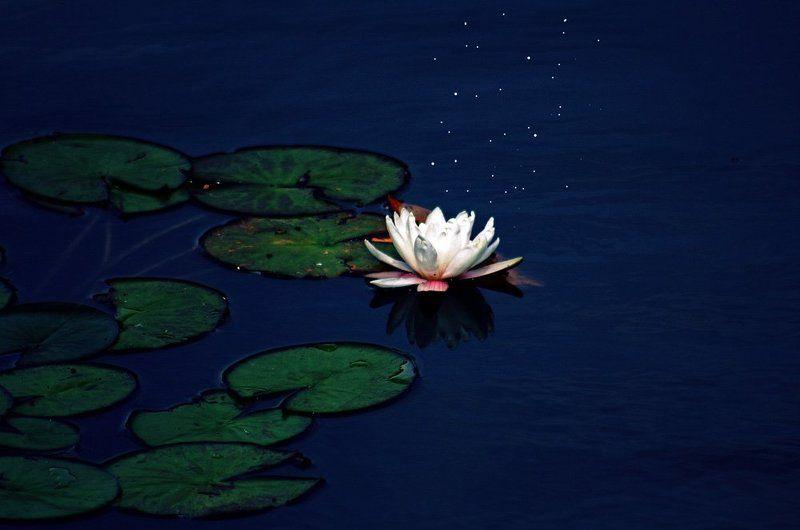 нимфы,водяные лилии,лотос, Нимфы photo preview