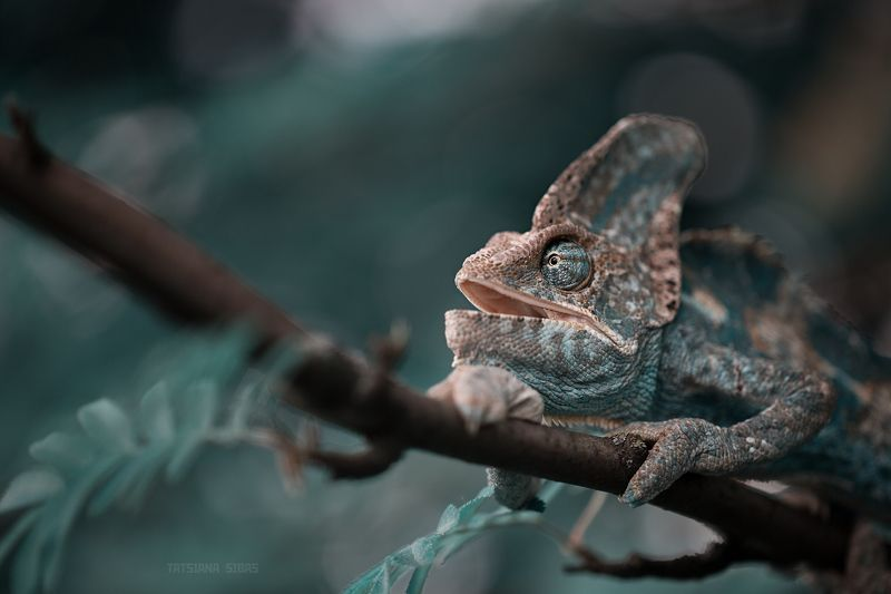 Камина - йеменский хамелеонphoto preview