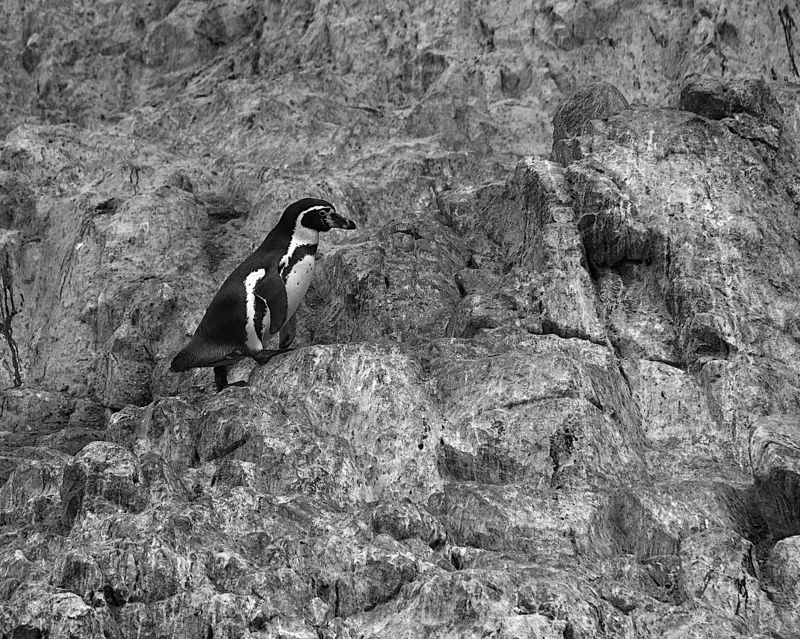 Балестас, Перу, Пингвин, Скалы Путникphoto preview