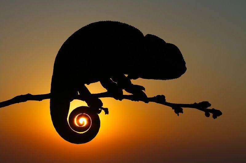 nature, chameleon, animal, reptile, canon, sun, sunset, wildlife, summer s u n s e tphoto preview