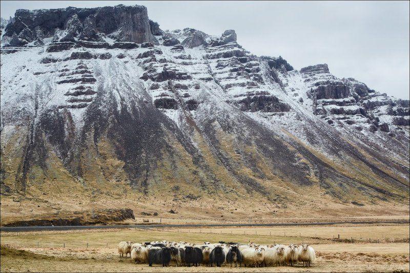 Исландия овцы скалы портрет пейзаж Родственники.photo preview