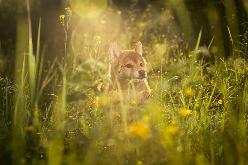 Природа, Сиба-ину, Собака, Щенок Я буду любить тебя...photo preview