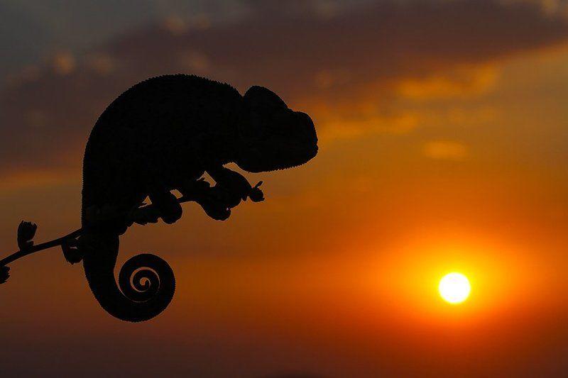 sun,nature,animal,sunset,chameleon,wildlife,summer,canon SUNSET 2photo preview