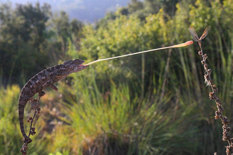 nature,animal,canon,wildlife,chameleon,hunter,summer,lights laser effectphoto preview