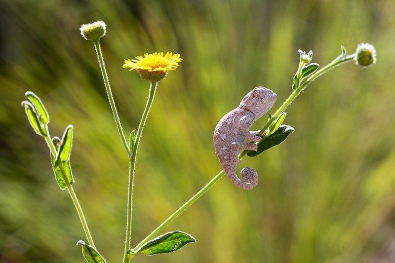 nature,animal,summer,reptile,canon baby chameleonphoto preview