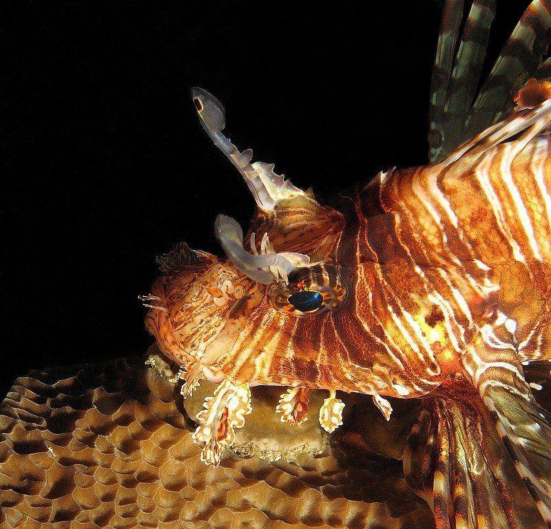 крылатка, скорпена, дайвинг, рыба Портрет незнакомкиphoto preview