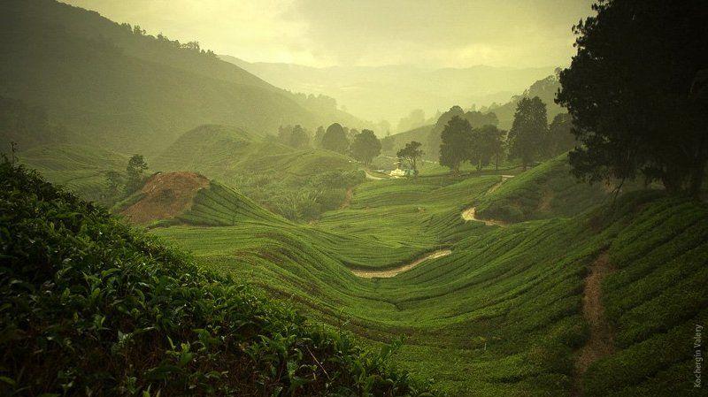плантация, чай, малайзия, азия, boh, холмы, горы, туман Cameroon highland - Malaysiaphoto preview