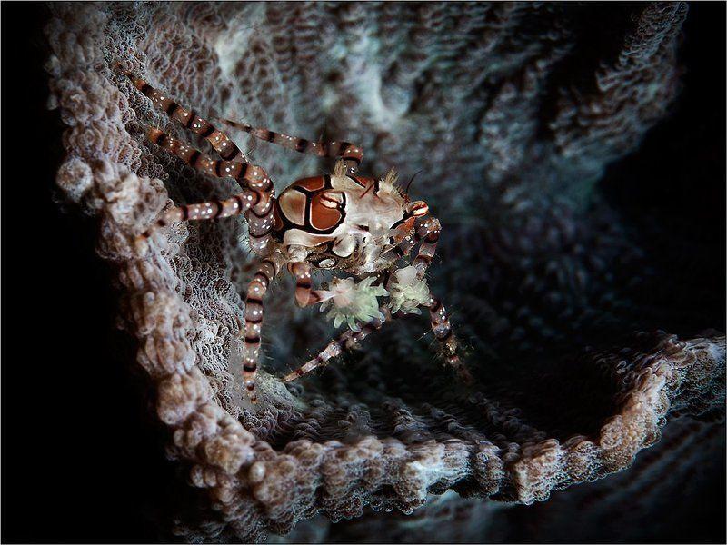 Краб-боксер, Индонезия, Северный Сулавеси, пролив Лембе, boxer-crab, North Sulawesi, Lembeh Strait, underwater photography Boxerphoto preview