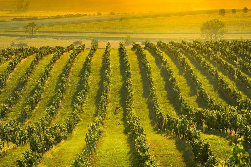 Виноградник Моравииphoto preview