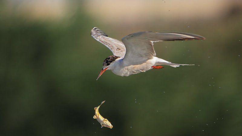 150600, 7d, animals, birds, fish, tern, животные, крачка, охота, рыбы Немного о воздушной акробатике..photo preview