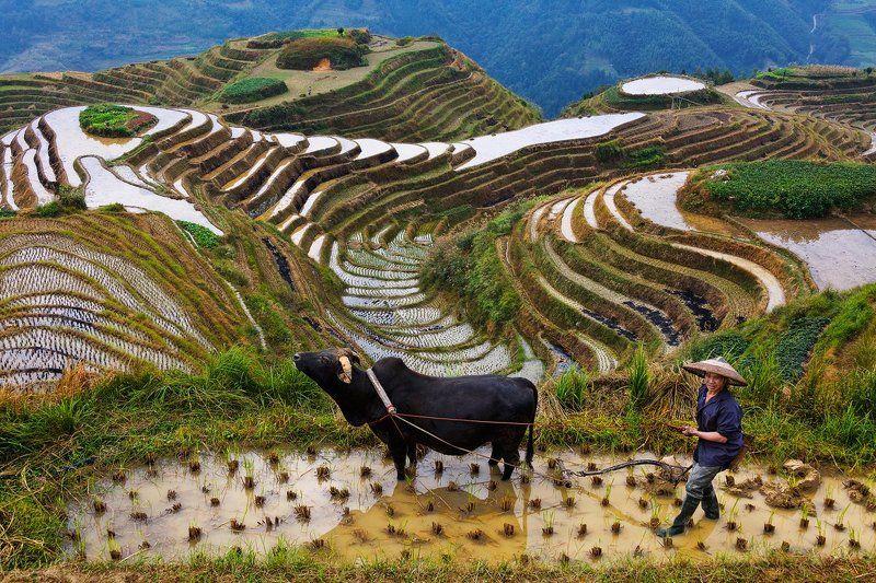 китай Урожай риса собранphoto preview