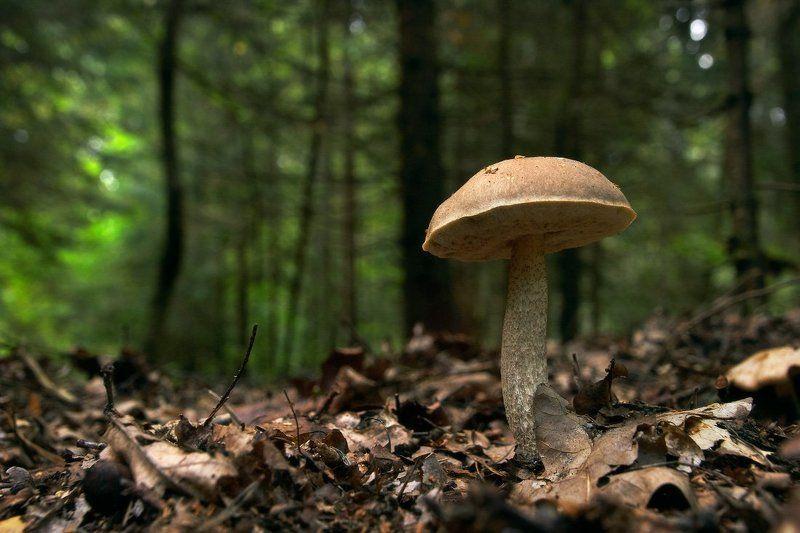 грибы, лес, подберёзовик, ложные опята, мухомор По грибыphoto preview