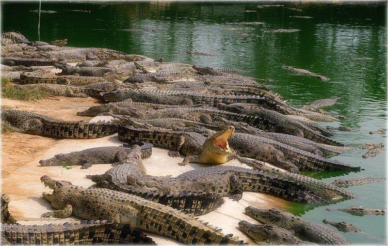 пляж, крокодилы, животные, тайланд, vvs Дикий пляжphoto preview