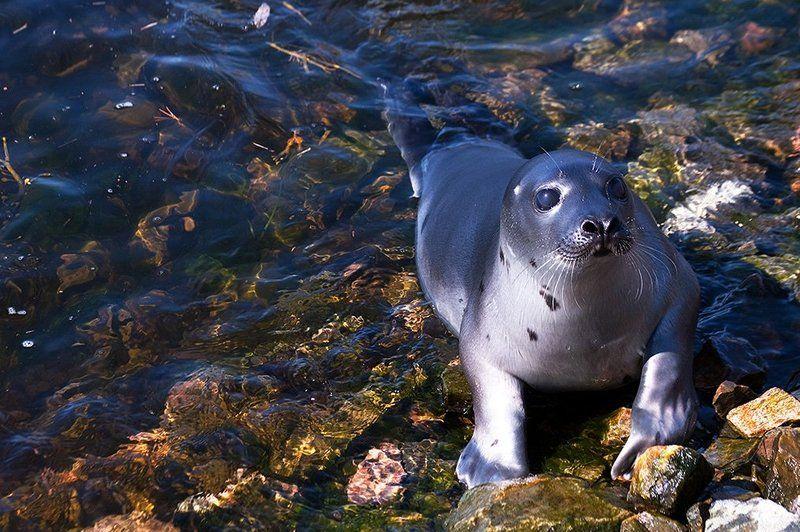 природа,дикие животные Гренландский тюлень 2photo preview