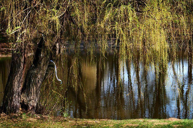 весна, май, пруд, ива, природа Небо по утру спускалось.. Синевой в пруду плескалось.. А потом, вдруг, испугалось.. Снова в вышину умчалось.  В спешке лента потерялась..photo preview