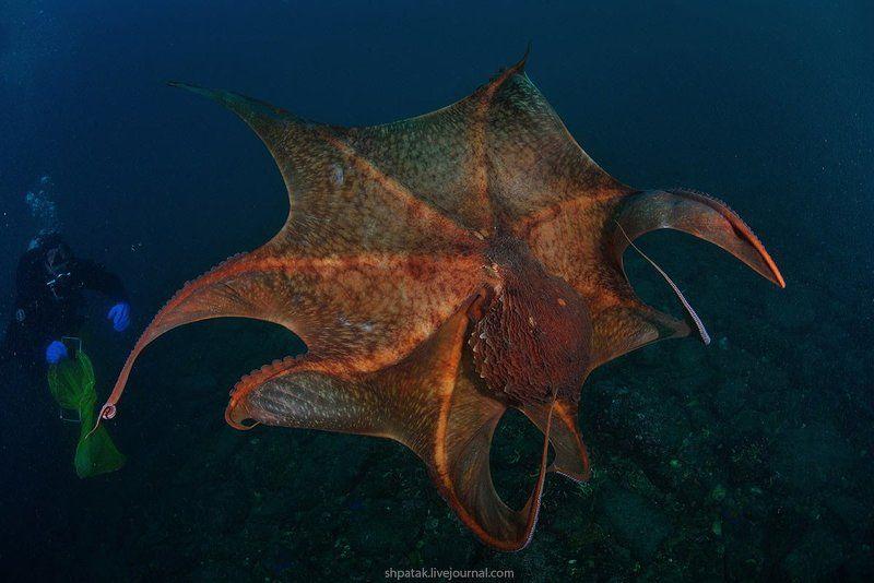 Японское море.  Бухта Рудная. Гигантский осьминог Дофлейна.photo preview