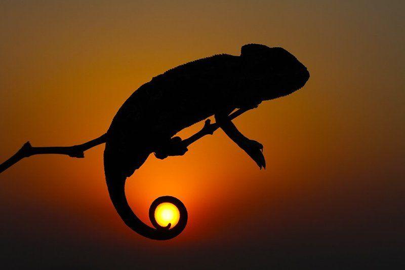 nature,animals,chameleon,sun,sunset,animal,canon,wildlife SUNsetphoto preview