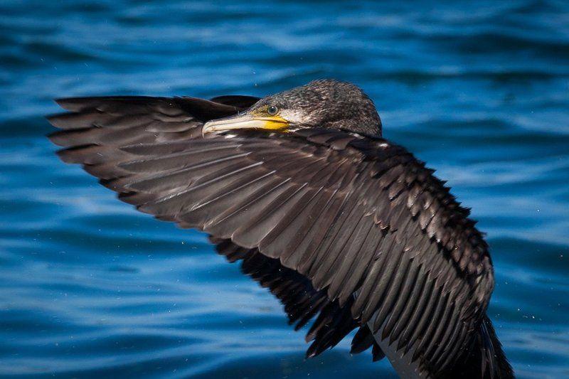 птица, фото, баклан, природа, животные, крыло, море Откуда берется ветерphoto preview