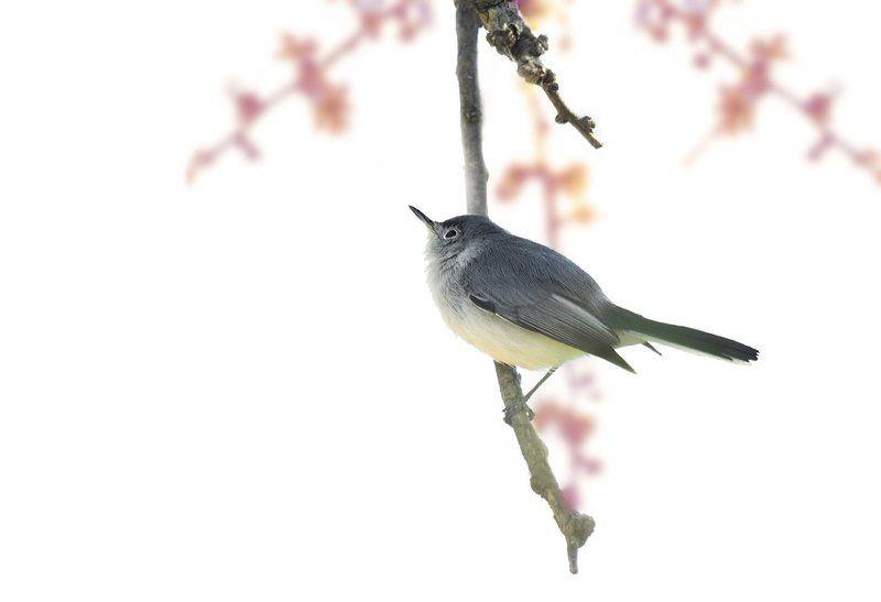 polioptilidae, птицы, дикая природа, комароловка По японским мотивамphoto preview