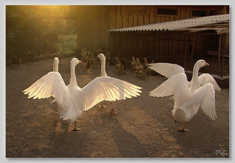 гуси, живность 3+2  (...у них своя свадьба - у нас своя...)photo preview