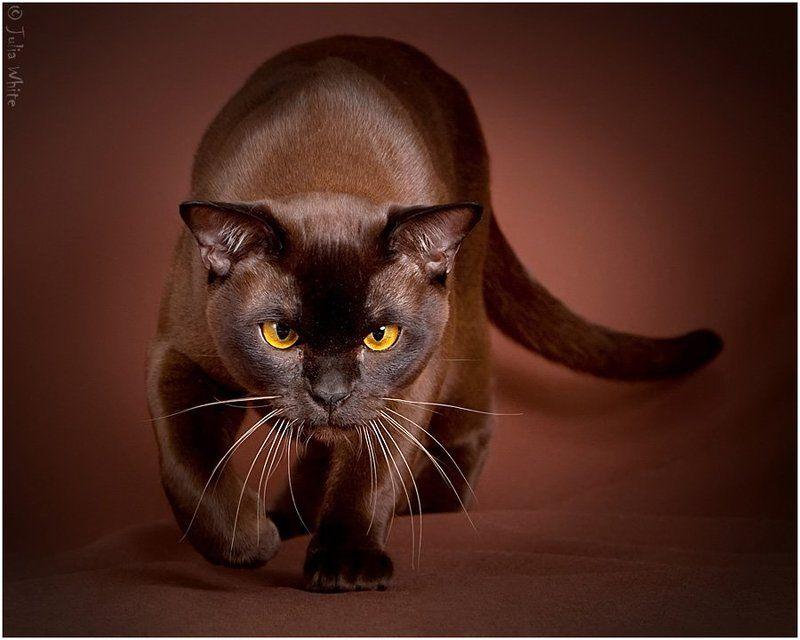 кот, кошка, cat, бурма, шоколад Шоколадкиphoto preview
