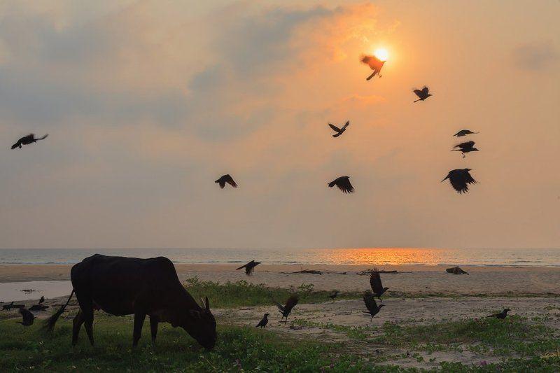 Корова вороны берег океан вечер закат солнце Обжигая крыльяphoto preview