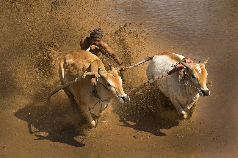 Traditional bull racing in Padang, Indonesiaphoto preview