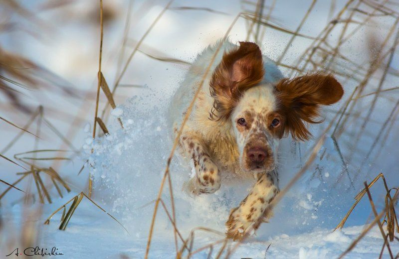 Аглийский сеттер, Зима, Прогулка, Снег Прогулки выходного дняphoto preview