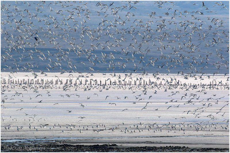 чайки, соляное озеро, чокрак, чокракское озеро, крым Большая семьяphoto preview